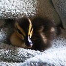 rescued wood duck by Christopher Birtwistle-Smith