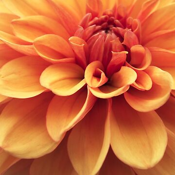 Dahlia design by cmphotographs