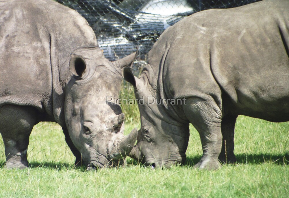 Tussling Rhinos by Richard Durrant