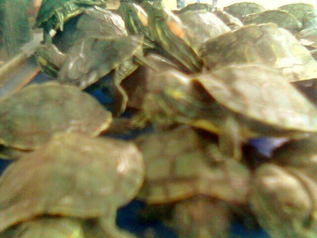turtle by hardipurnama