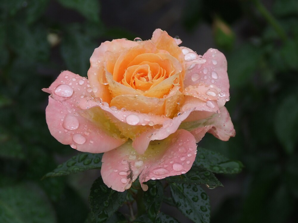 raindrops on roses 2 by scottymm