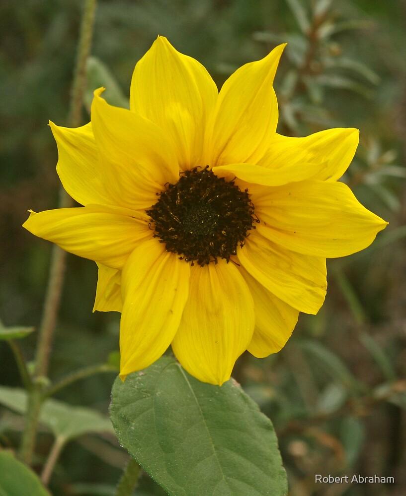 Wild Sunflower by Robert Abraham