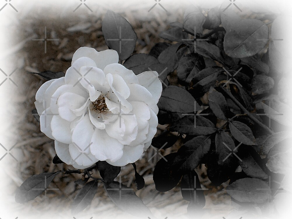 One White Rose by CarolM