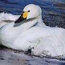 bewick's swan III by mc27