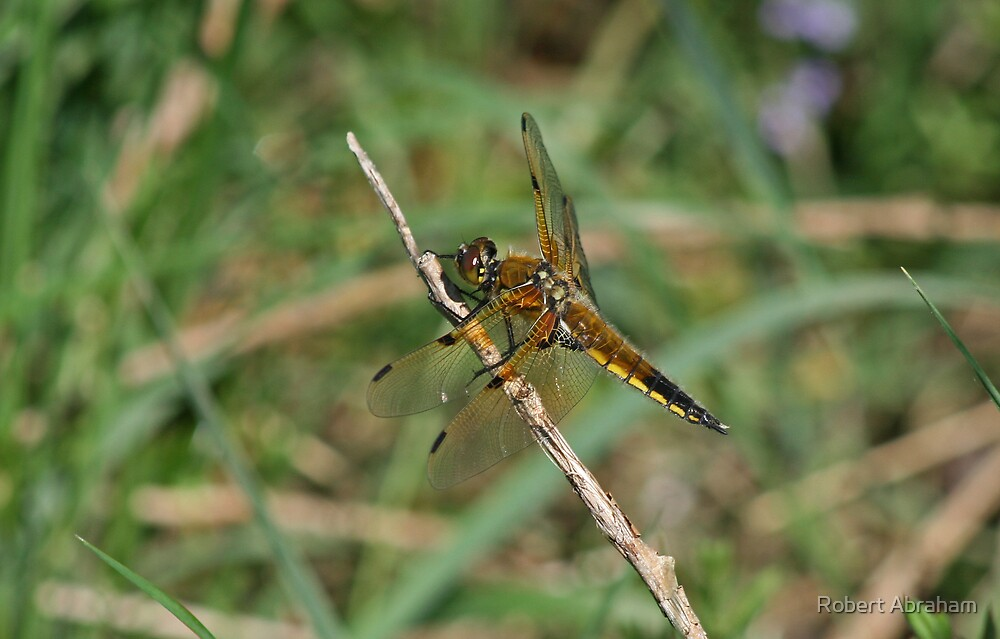 Four-Spotted Chaser by Robert Abraham