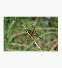 Four-Spotted Chaser Photographic Print