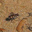 Tiger Beetle by Robert Abraham