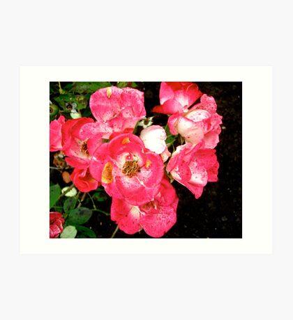 Governor General's roses 5 Art Print