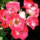 Governor General's roses 5 by Shulie1