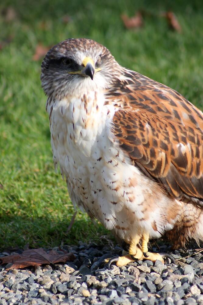 Brown Falcon by IanPharesPhoto