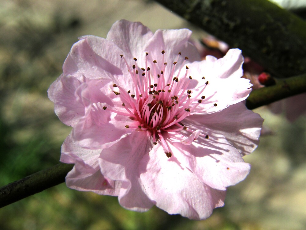blossom by Anna D'Accione