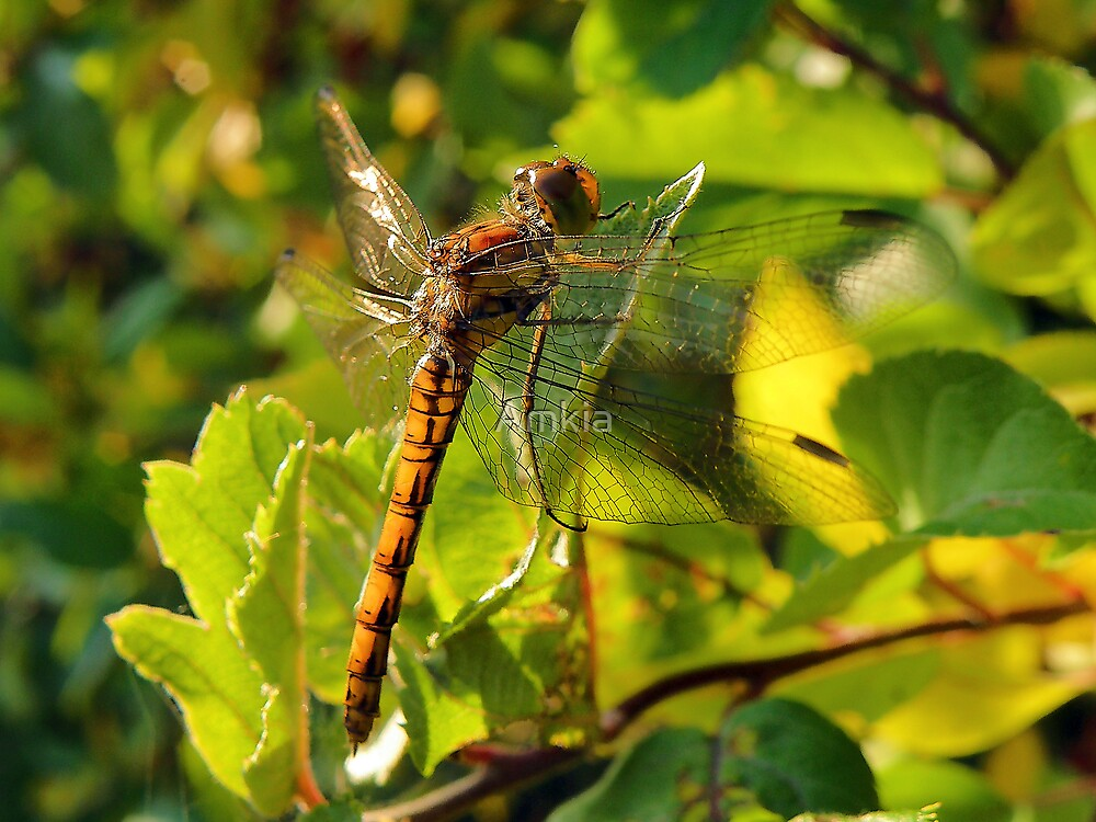 Dragonfly by Amkia