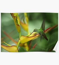 heliconia hummingbird Poster