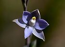 Scented Sun-Orchid by LeeoPhotography