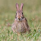 Just a little nibble - cottontail bunny by Linda Crockett