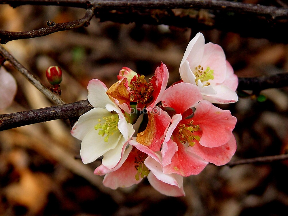 photoj Flora- Blossom Time by photoj