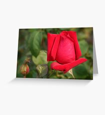 Coming into Full Bloom: Red Rose Greeting Card