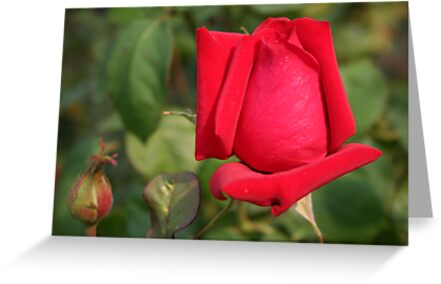 Coming into Full Bloom: Red Rose by Laurel Talabere