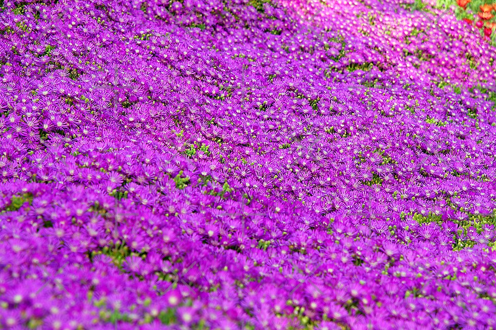 Purple Ground Cover By Clayton Bruster Redbubble
