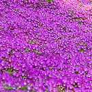 Purple Ground Cover by Clayton Bruster