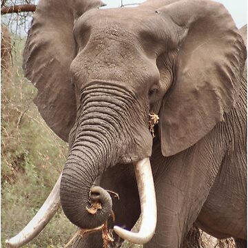 "THE AFRICAN ELEPHANT - TUSKERS-""THE KRUGER NAT, PARK"" by mags"