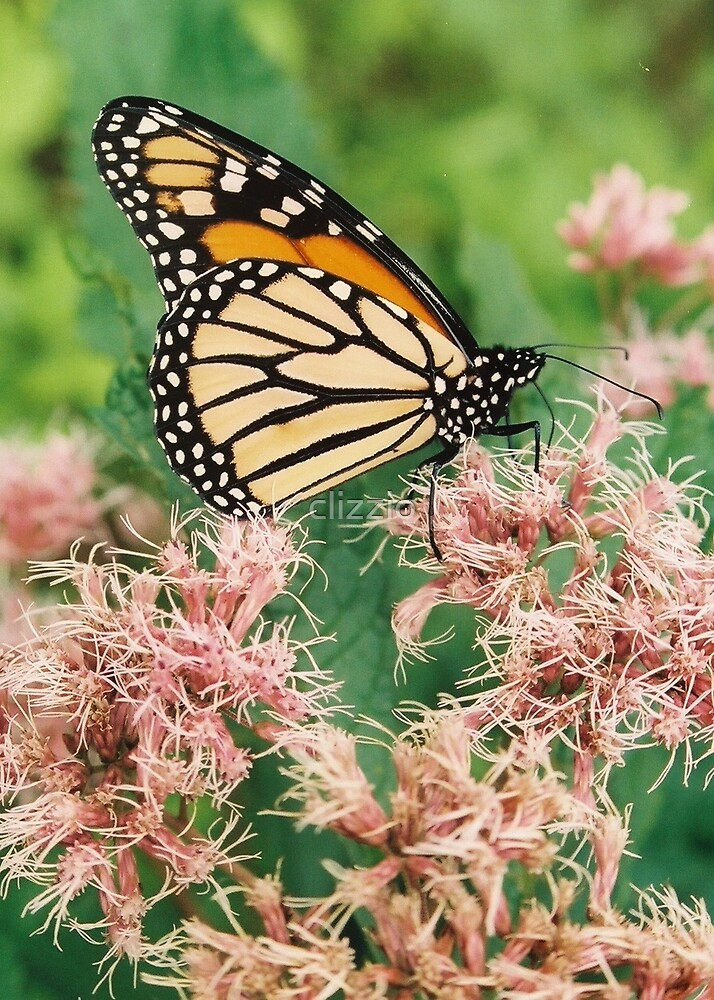 Monarch on Pink Weed by clizzio