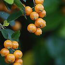 Yellow Berries by poinsiana