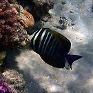 Red Sea Sailfin Tang Makadi Bay by hurmerinta