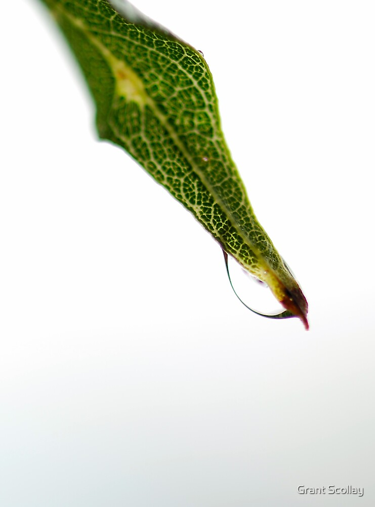 Wet Leaf by Grant Scollay