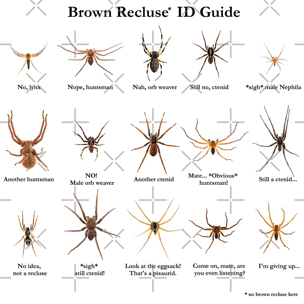"""""""Brown Recluse ID Guide"""" by ArthroLove 