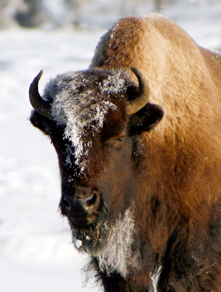 Yellowstone Bison in Winter by Virginia Maguire
