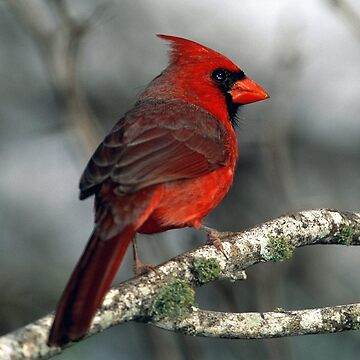 Cardinal by CreativeArtist