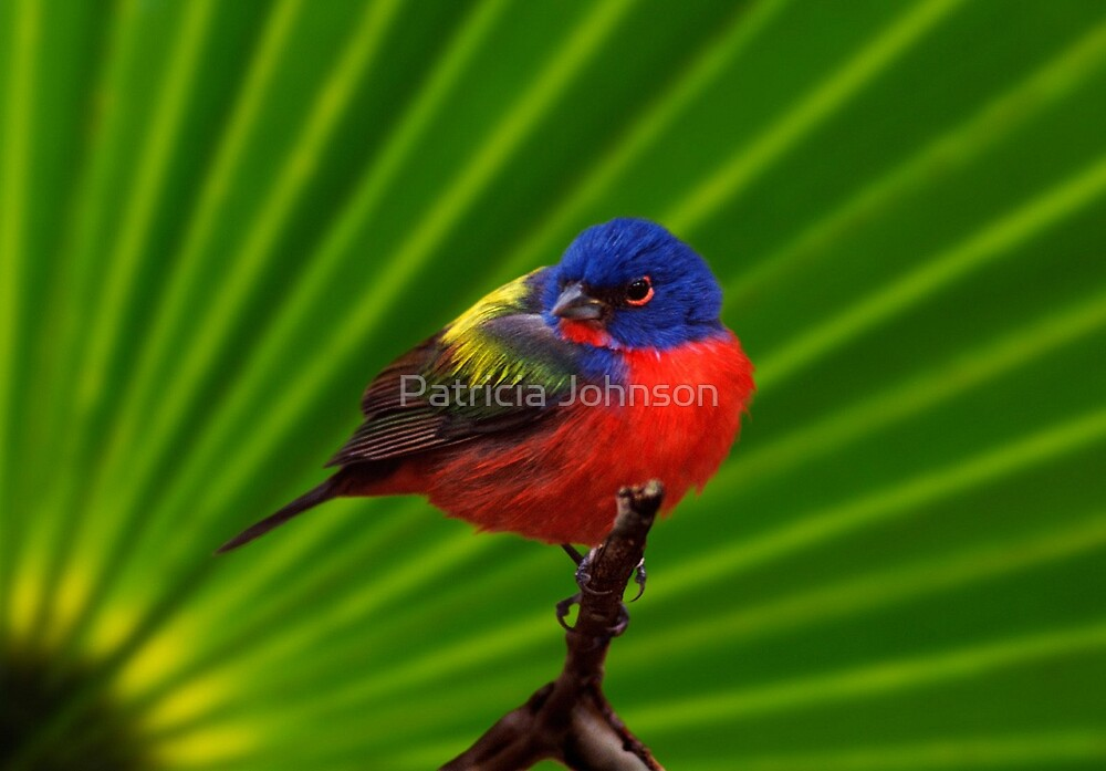 Male Painted Bunting by Patricia Johnson