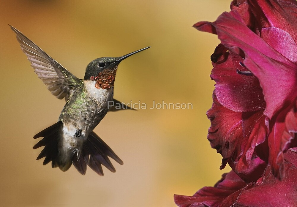 Male Ruby Throated Humming Bird by Patricia Johnson