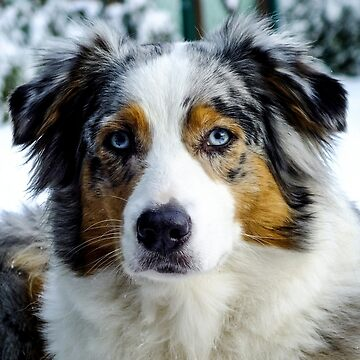 australian shepherd blue merle third by marasdaughter