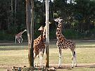 NDVH Australia Zoo 5 by nikhorne