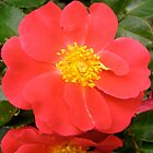 Governor General's rose 7 by Shulie1