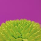 Green Button Spray Chrysanthemum by IAmPaul