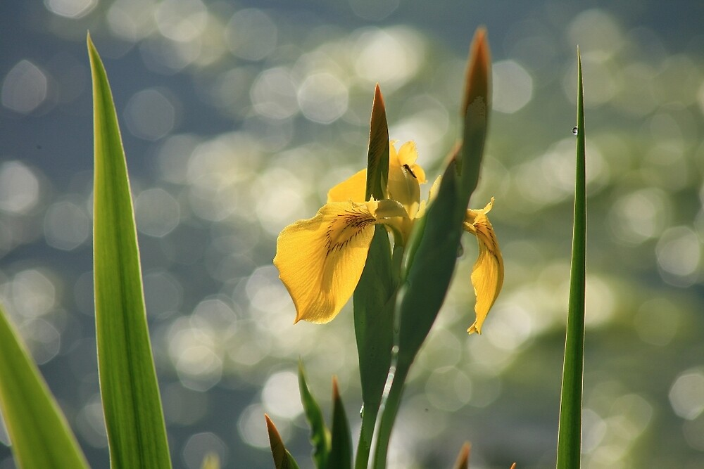 Yellow Iris by Ran Richards