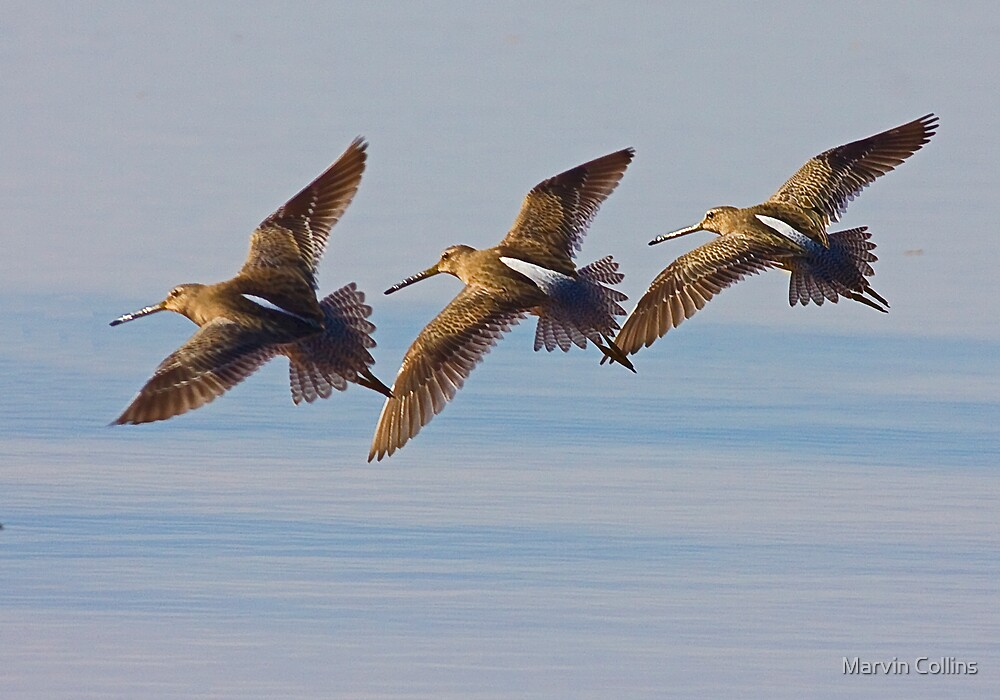 Long Billed Dowitcher by Marvin Collins