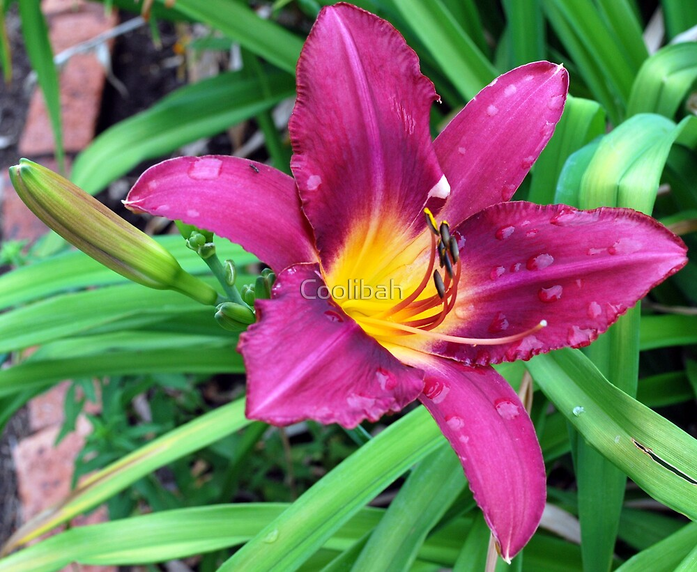 Lilly by Ruth Anne  Stevens