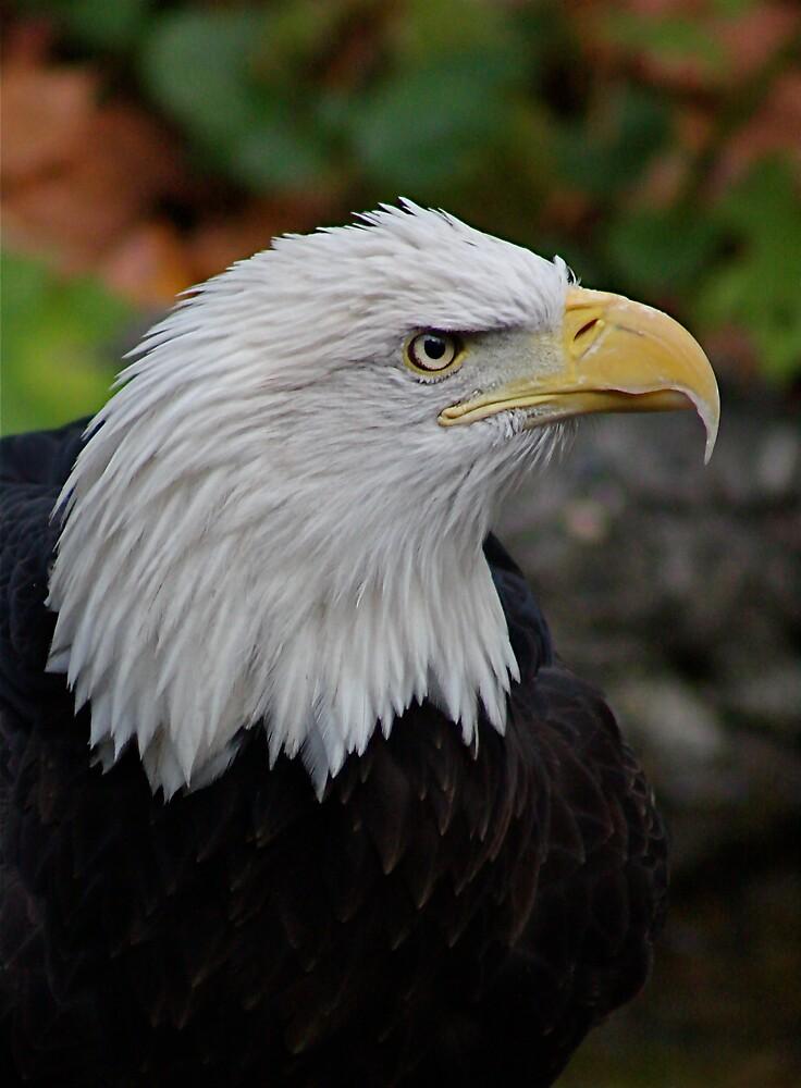 Bald Eagle American Beauty by IanPharesPhoto
