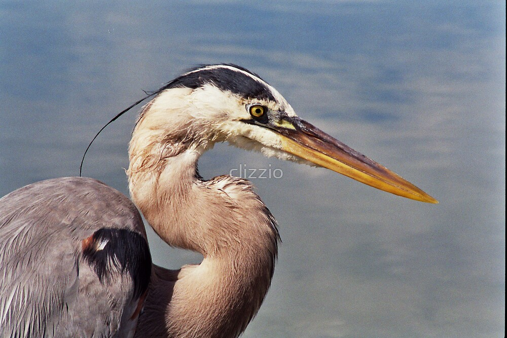 Great Blue Heron by clizzio