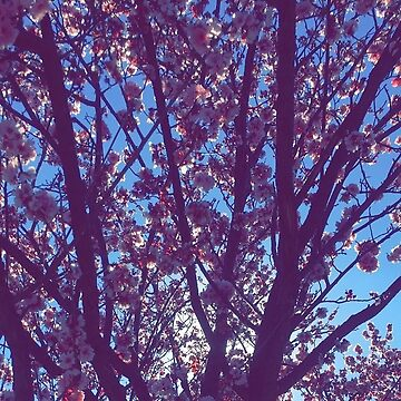 Cherry Blossom  by DennisNewsome