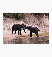Dueling Elephants Photographic Print