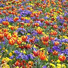 Colourful tulips by judyA