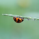 Upside Down Tightrope Walking Ladybird by Jenelle  Irvine
