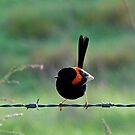 Red-backed Fairy Wren on the fence by Jenelle  Irvine