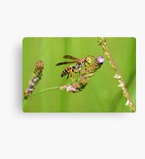 Male Paper Wasp Canvas Print