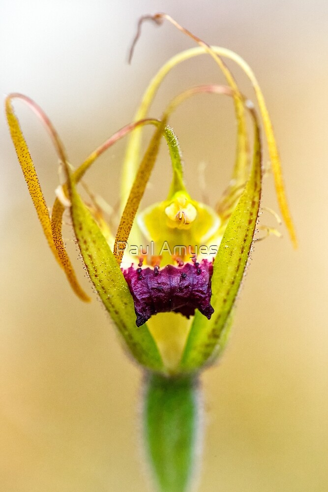 Karri Spider Orchid by Paul Amyes